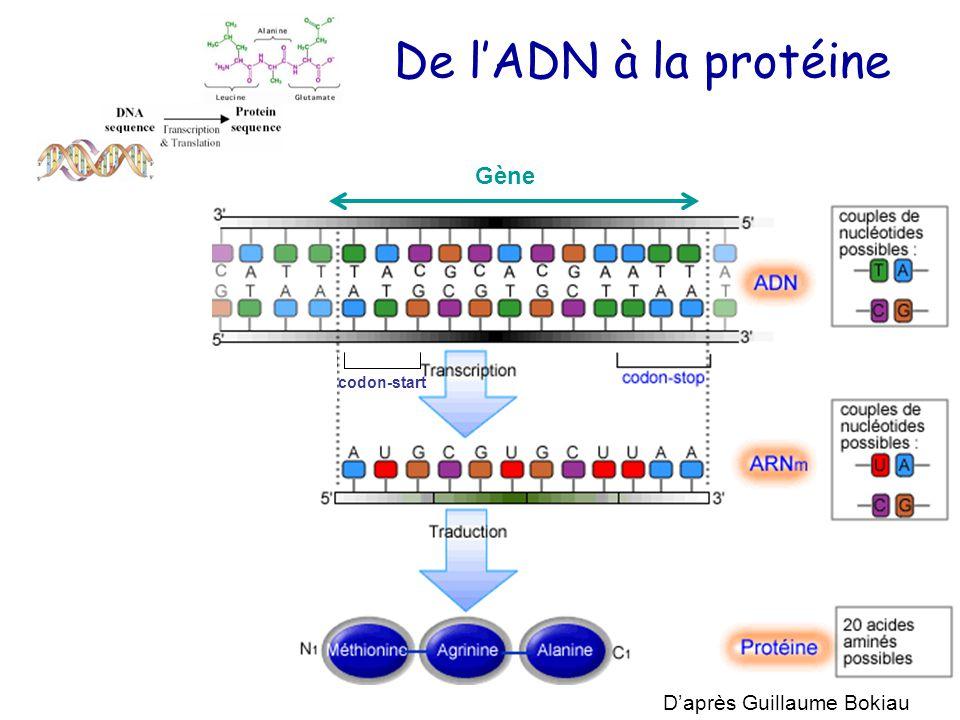 De l'ADN à la protéine codon-start D'après Guillaume Bokiau Gène