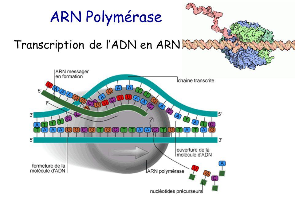 ARN Polymérase Transcription de l'ADN en ARN