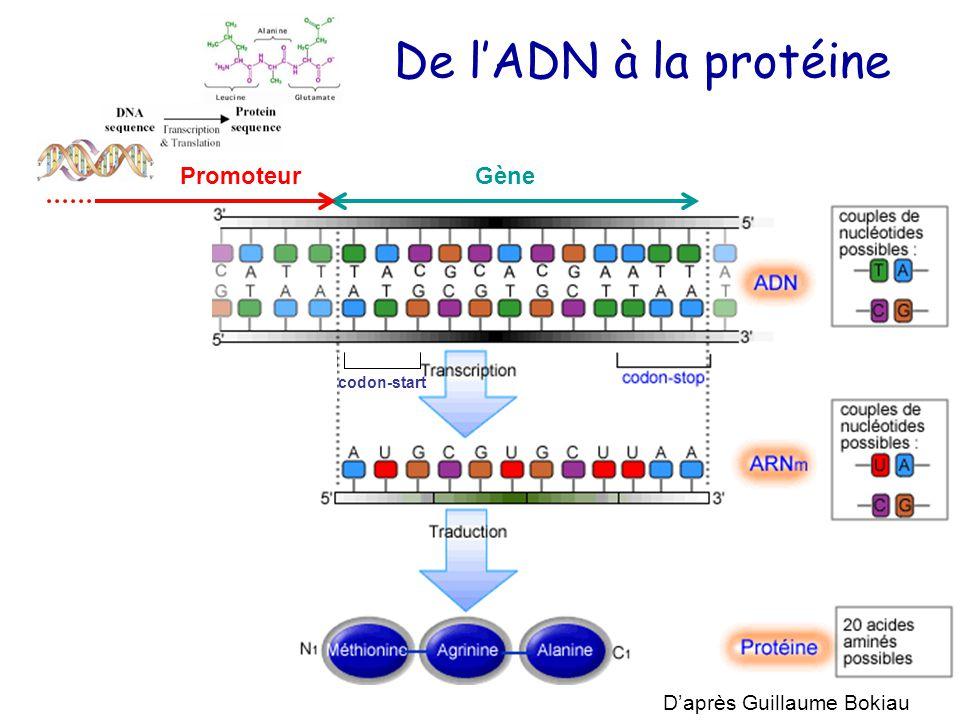 De l'ADN à la protéine codon-start D'après Guillaume Bokiau GènePromoteur