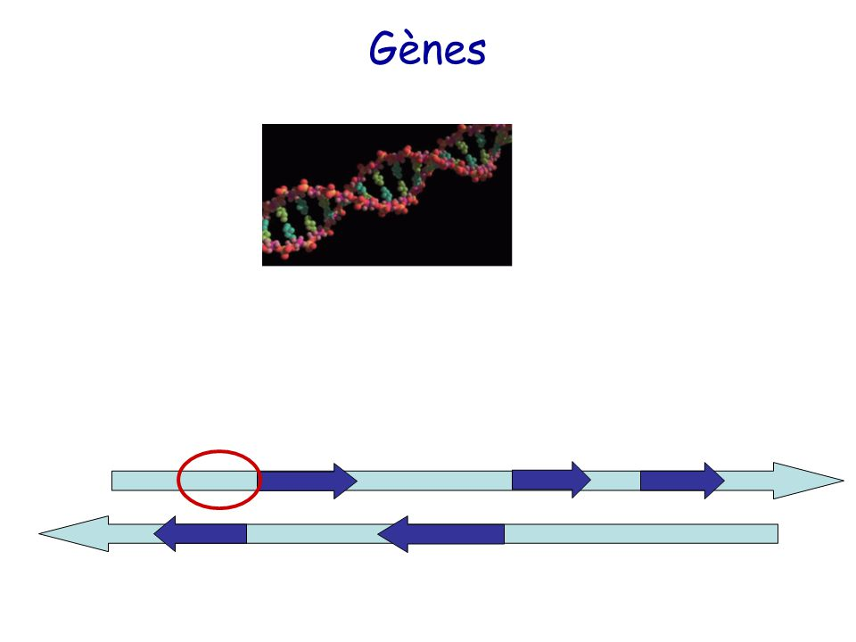 Gènes