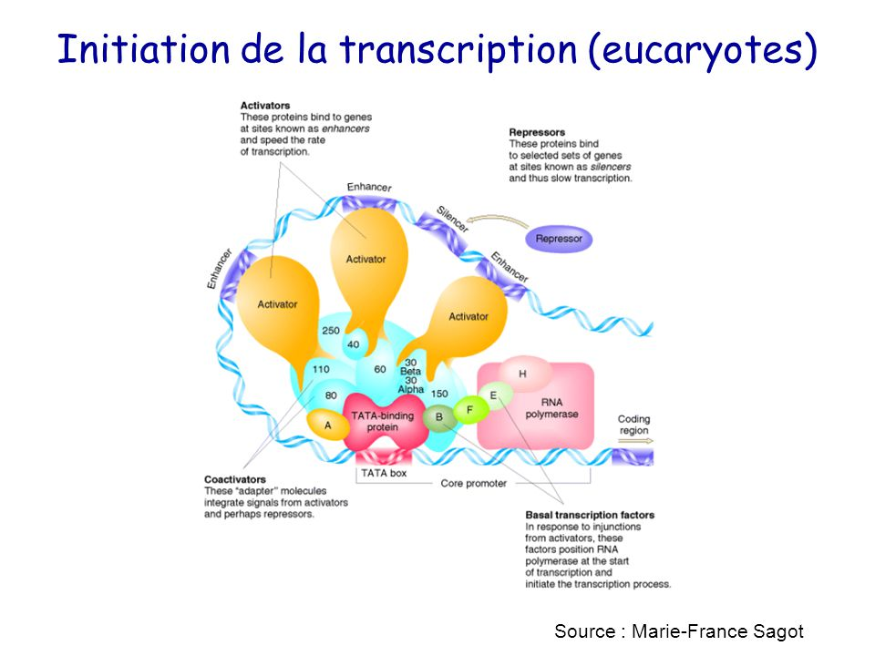 Initiation de la transcription (eucaryotes) Source : Marie-France Sagot