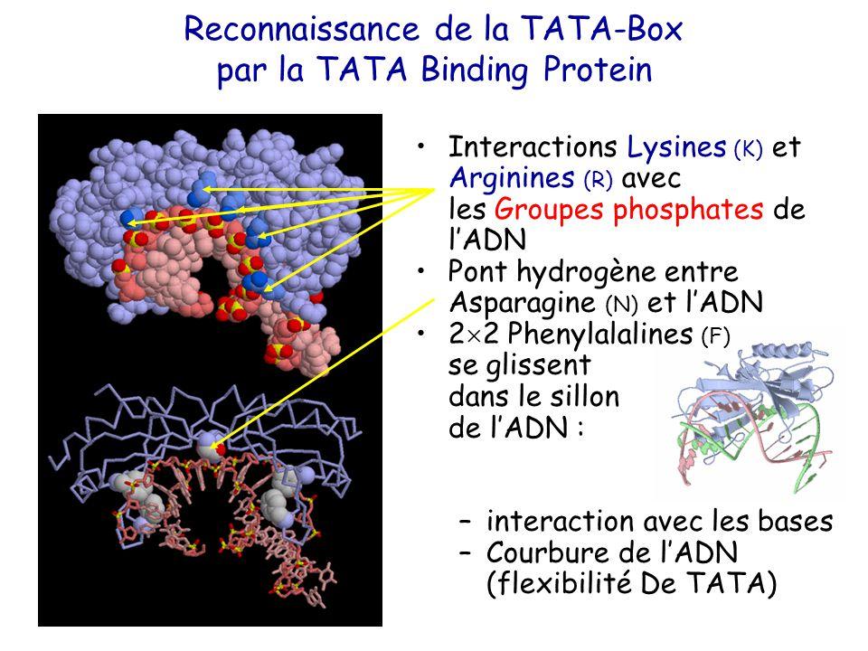 Interactions Lysines (K) et Arginines (R) avec les Groupes phosphates de l'ADN Pont hydrogène entre Asparagine (N) et l'ADN 2  2 Phenylalalines (F) se glissent dans le sillon de l'ADN : –interaction avec les bases –Courbure de l'ADN (flexibilité De TATA) Reconnaissance de la TATA-Box par la TATA Binding Protein