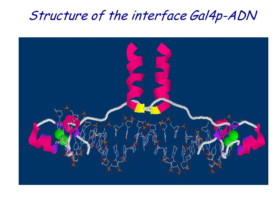 Structure of the interface Gal4p-ADN