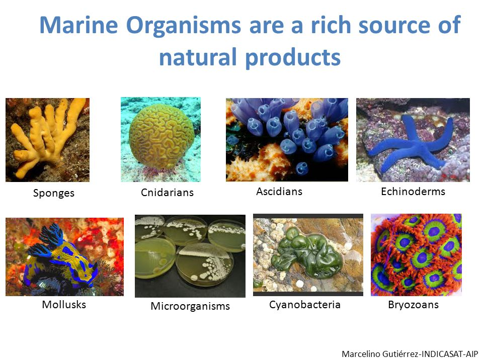 Marine Organisms are a rich source of natural products Sponges Cnidarians AscidiansEchinoderms Mollusks Microorganisms CyanobacteriaBryozoans Marcelino Gutiérrez-INDICASAT-AIP