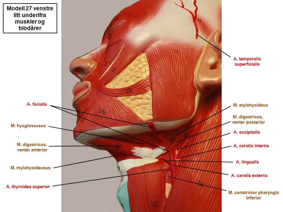 Modell 27 venstre litt underifra muskler og blodårer M. hyoglossusus M. digastricus, venter anterior M. digastricus, venter posterior M. stylohyoideus