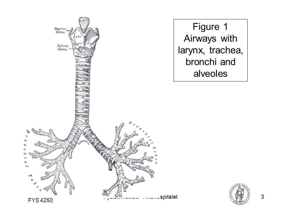 Fysisk institutt - Rikshospitalet3 FYS 4250 Figure 1 Airways with larynx, trachea, bronchi and alveoles