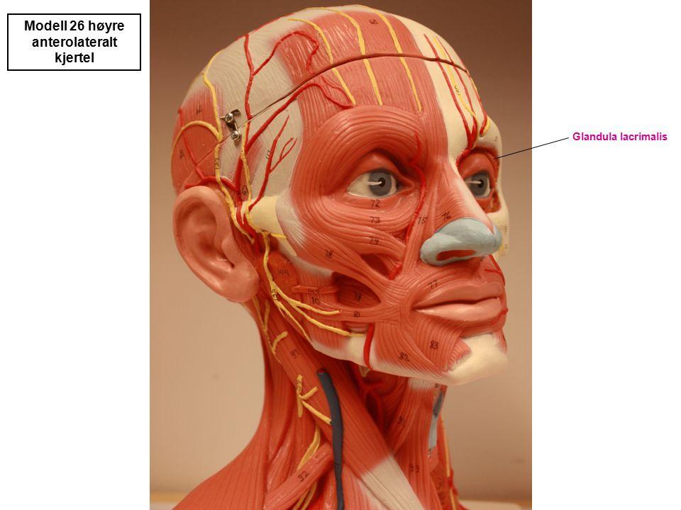 Glandula lacrimalis Modell 26 høyre anterolateralt kjertel