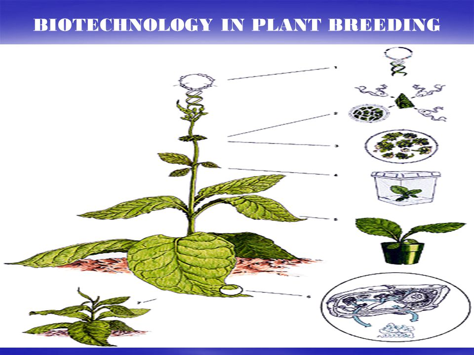 BIOTECHNOLOGY IN PLANT BREEDING