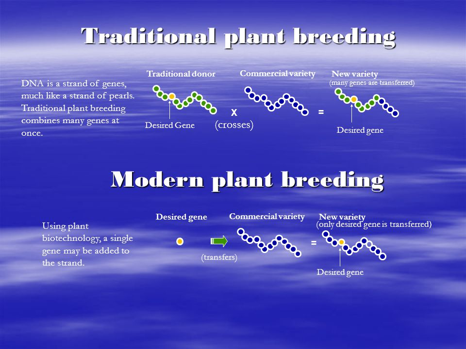 Desired gene Traditional plant breeding DNA is a strand of genes, much like a strand of pearls. Traditional plant breeding combines many genes at once