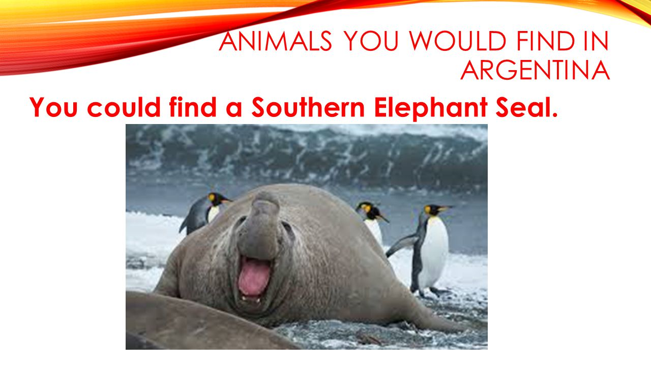 ANIMALS YOU WOULD FIND IN ARGENTINA You could find a Southern Elephant Seal.