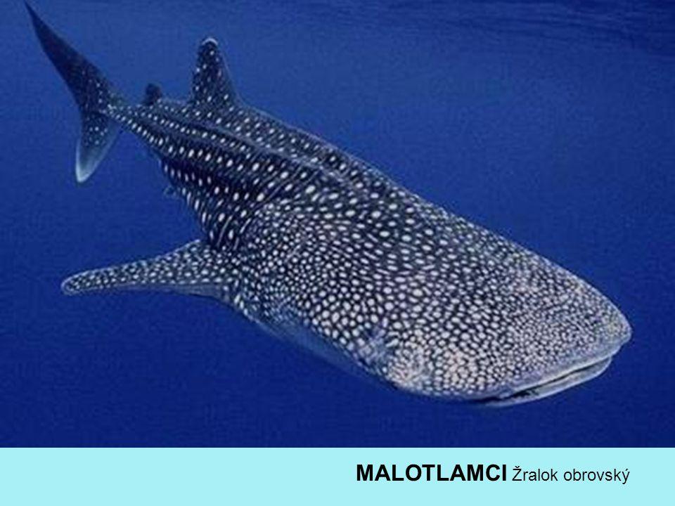MALOTLAMCI Žralok obrovský
