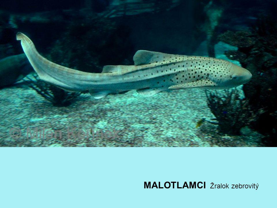 MALOTLAMCI Žralok zebrovitý