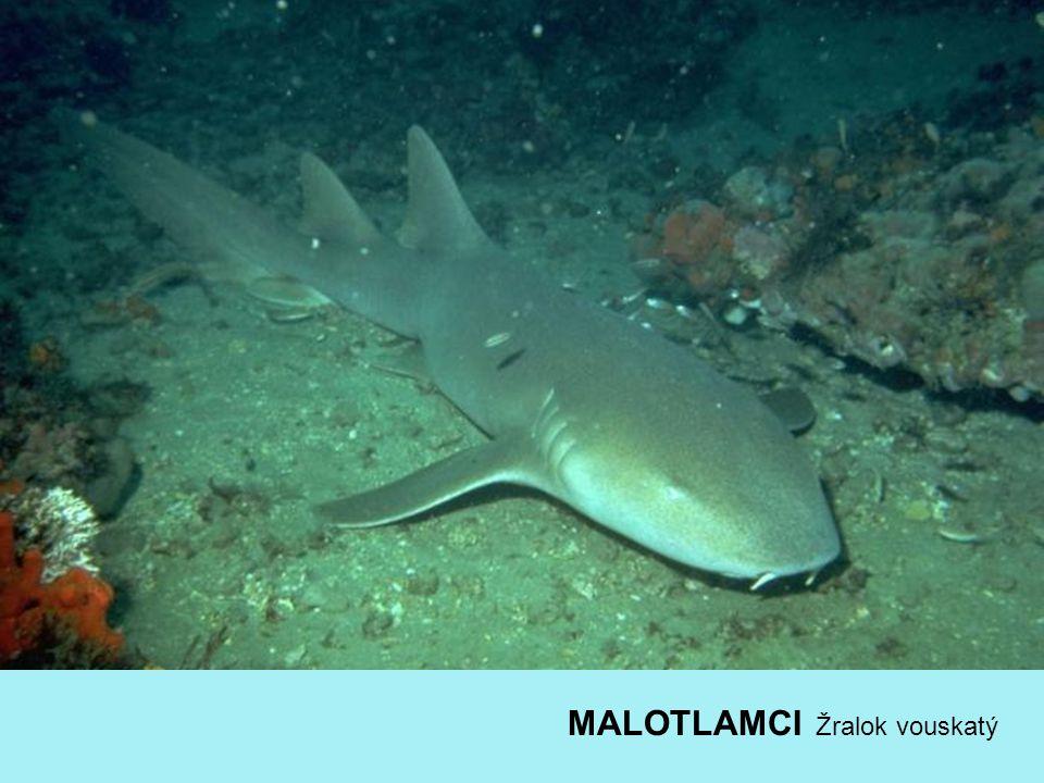 MALOTLAMCI Žralok vouskatý