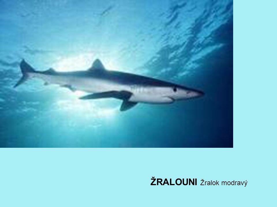 ŽRALOUNI Žralok modravý