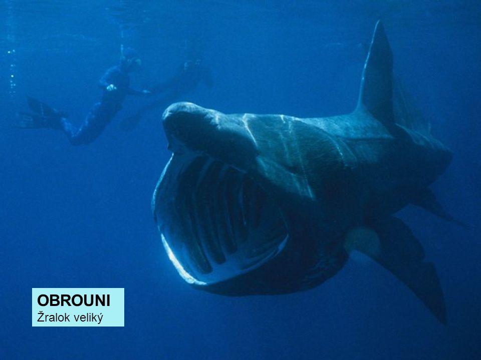 OBROUNI Žralok veliký