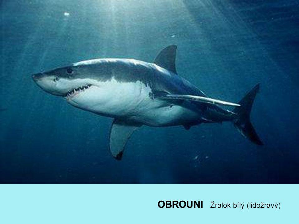 OBROUNI Žralok bílý (lidožravý)