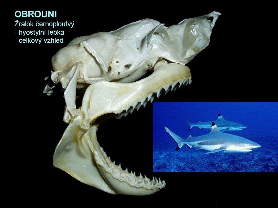 OBROUNI Žralok černoploutvý - hyostylní lebka - celkový vzhled