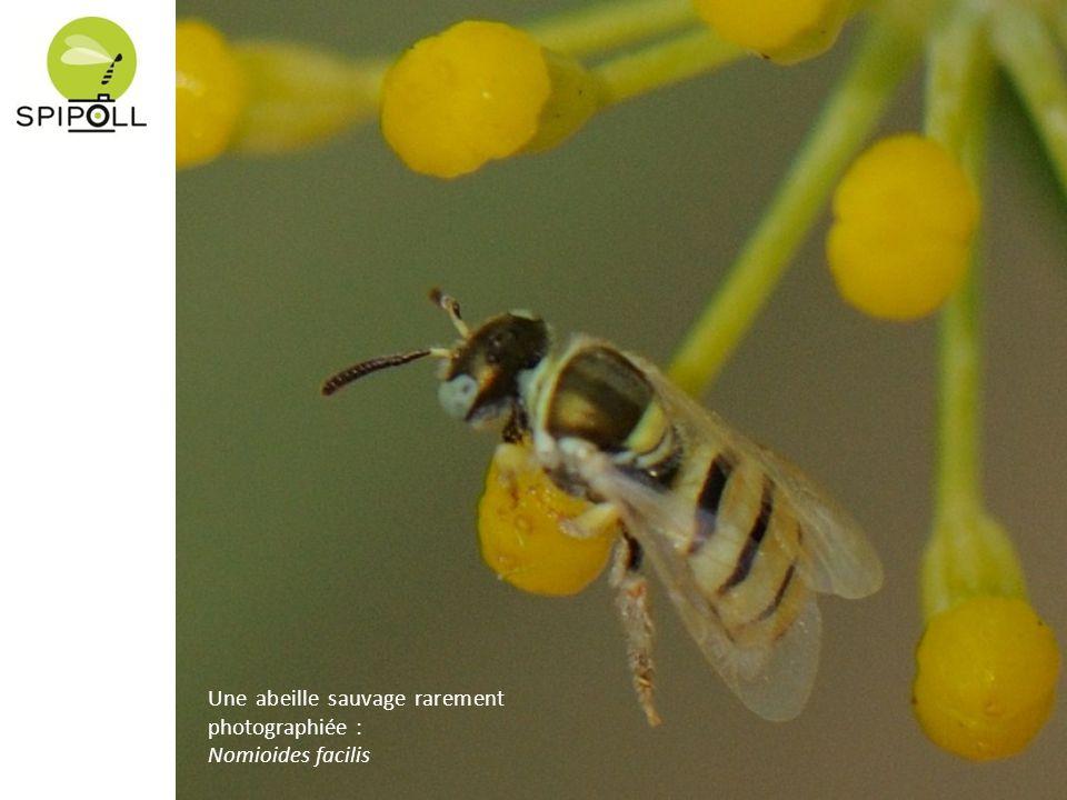 Une abeille sauvage rarement photographiée : Nomioides facilis