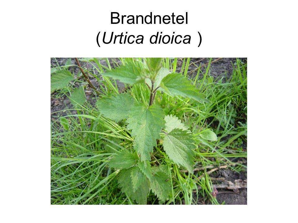 Brandnetel (Urtica dioica )