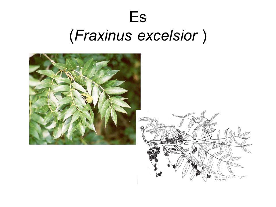 Es (Fraxinus excelsior )