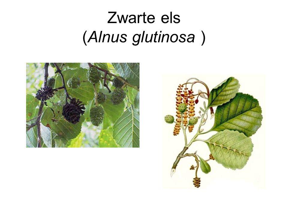 Zwarte els (Alnus glutinosa )