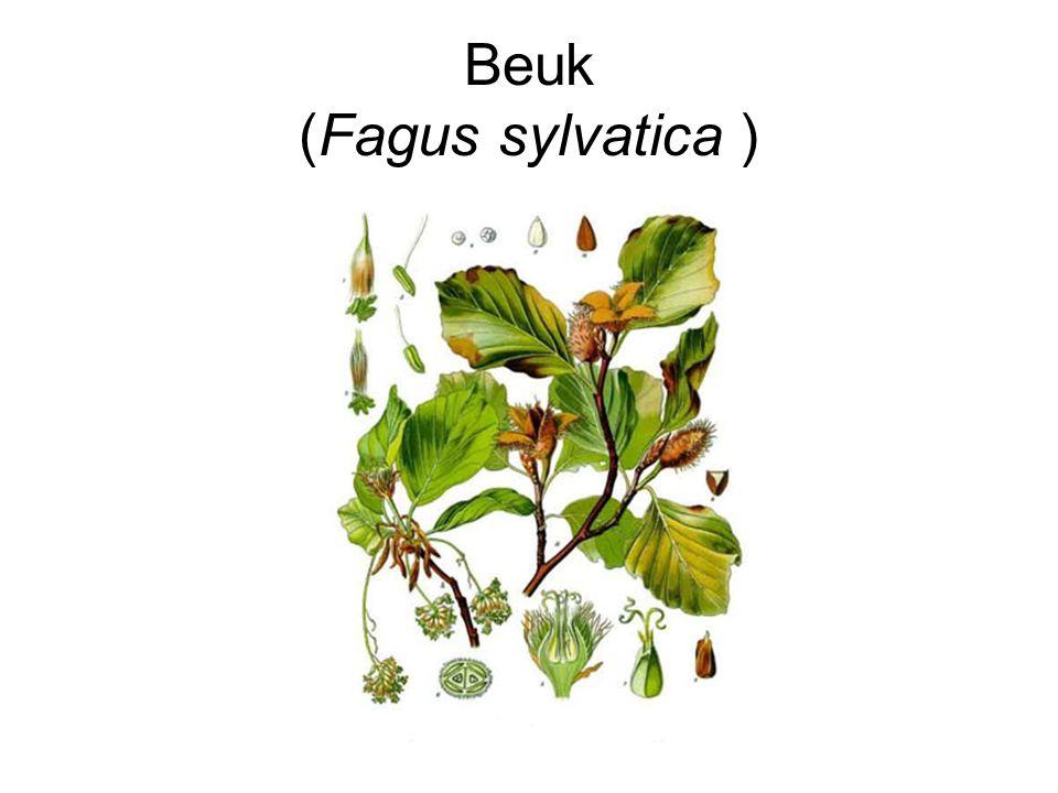 Beuk (Fagus sylvatica )