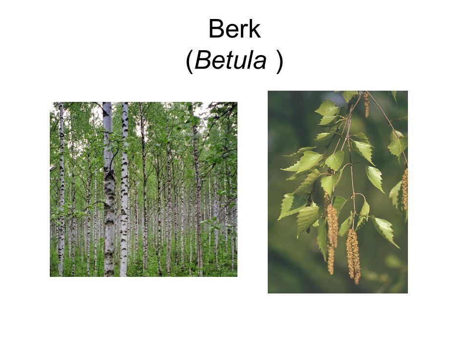 Berk (Betula )