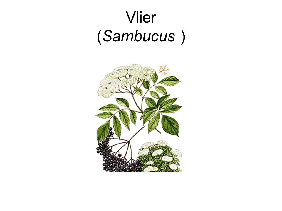Vlier (Sambucus )