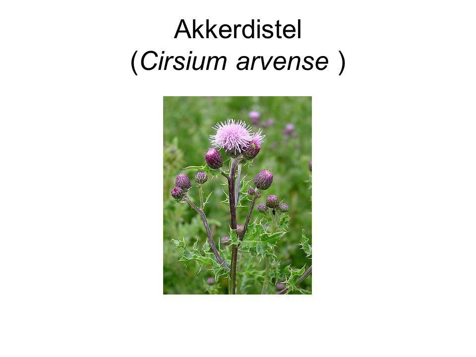 Akkerdistel (Cirsium arvense )
