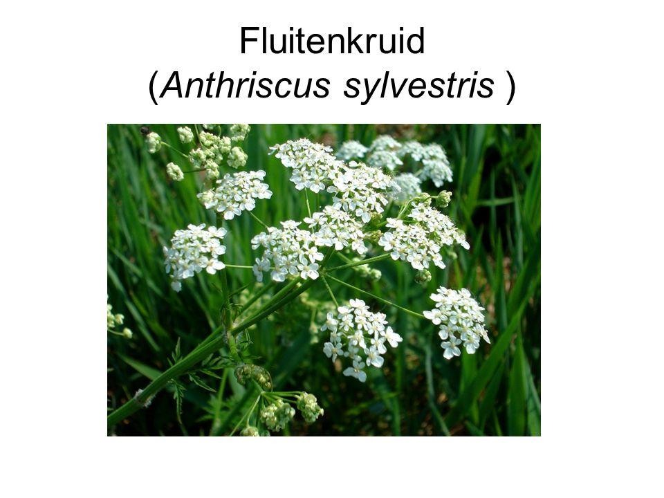 Fluitenkruid (Anthriscus sylvestris )