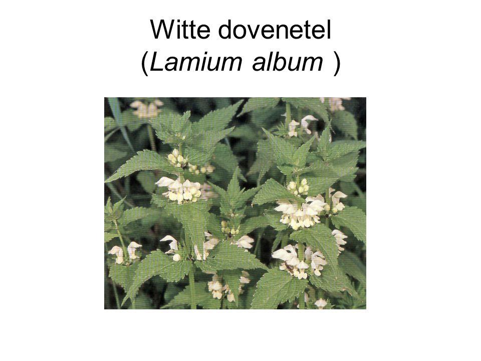 Witte dovenetel (Lamium album )