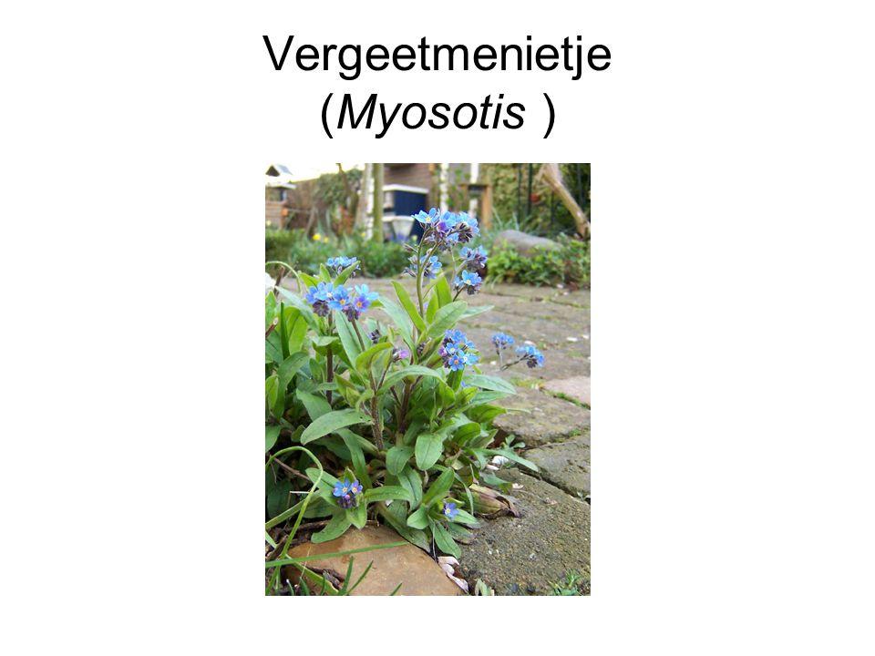 Vergeetmenietje (Myosotis )