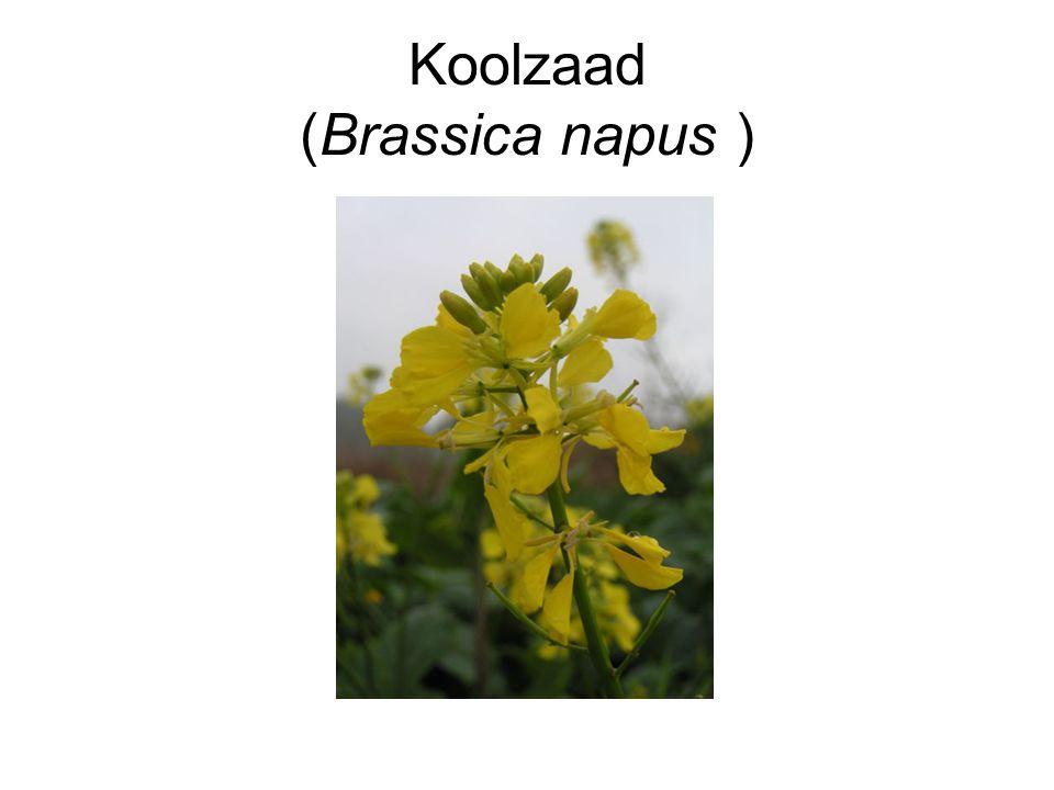 Koolzaad (Brassica napus )