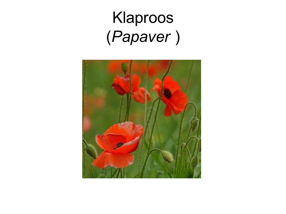 Klaproos (Papaver )