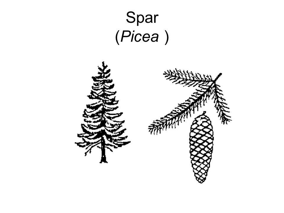 Spar (Picea )