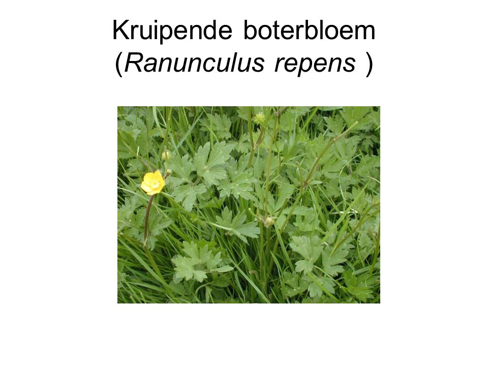 Kruipende boterbloem (Ranunculus repens )