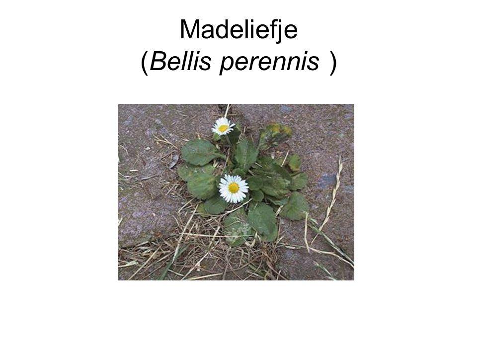 Madeliefje (Bellis perennis )
