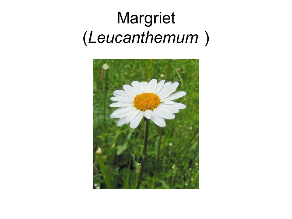 Margriet (Leucanthemum )
