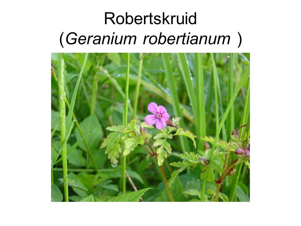 Robertskruid (Geranium robertianum )