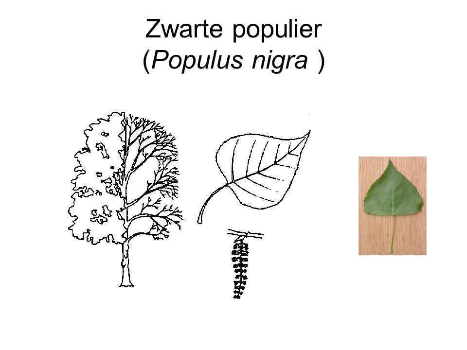 Zwarte populier (Populus nigra )