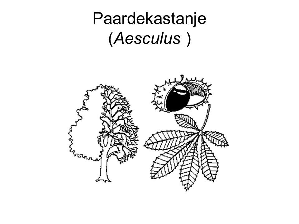 Paardekastanje (Aesculus )