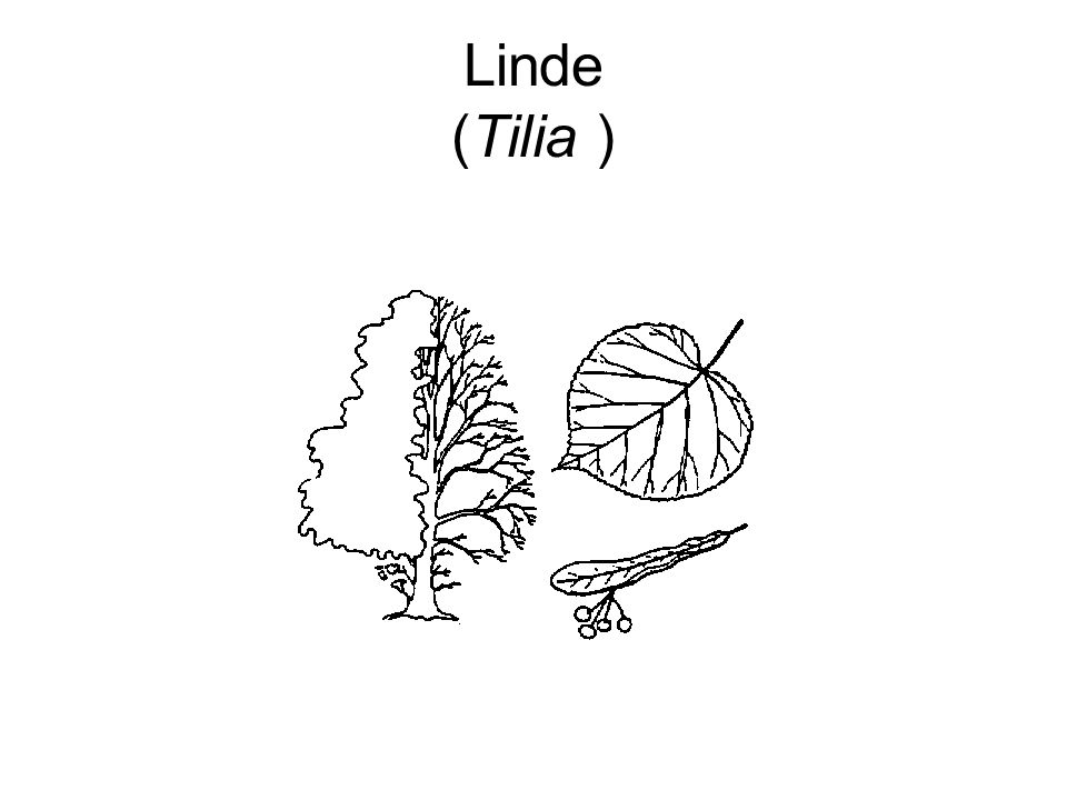Linde (Tilia )