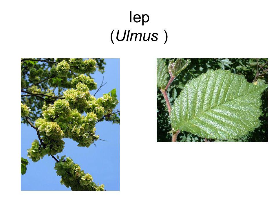 Iep (Ulmus )