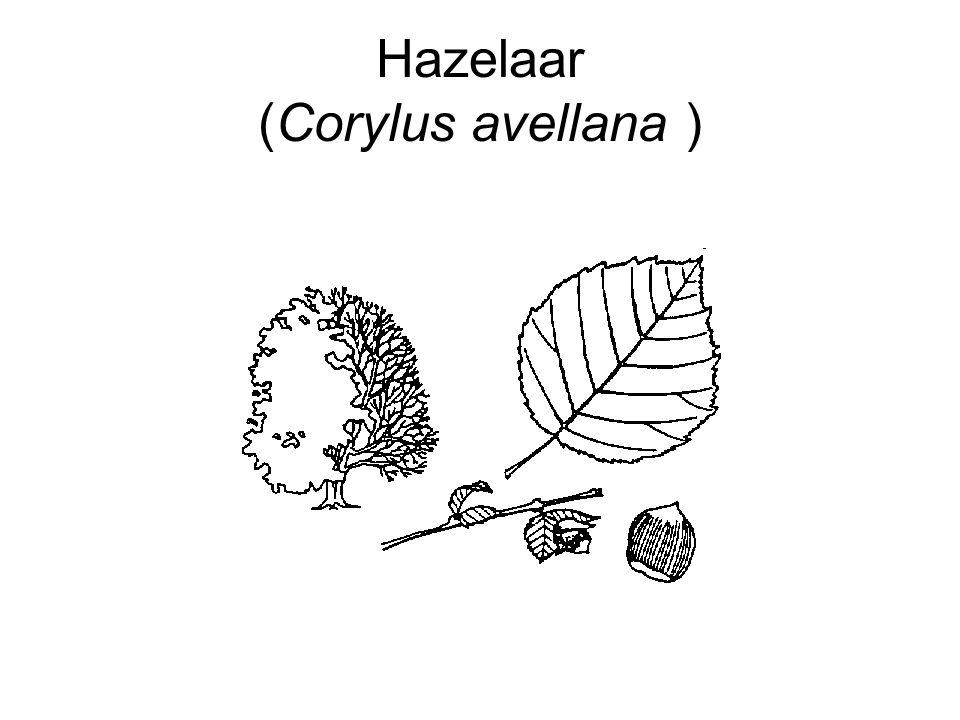Hazelaar (Corylus avellana )