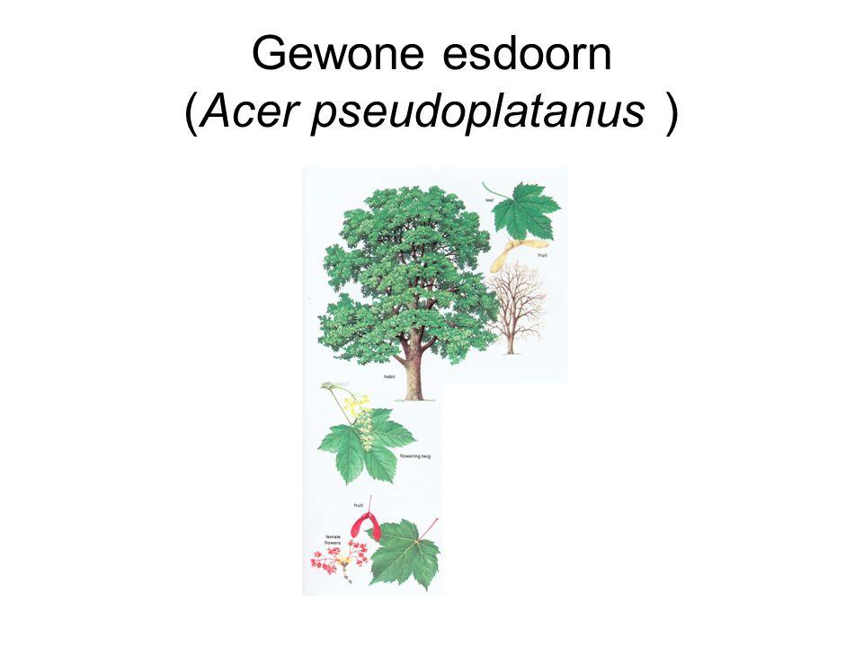 Gewone esdoorn (Acer pseudoplatanus )