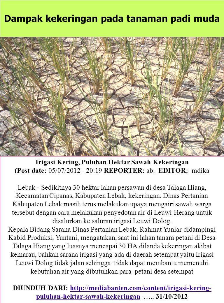 Dampak kekeringan pada tanaman padi muda Irigasi Kering, Puluhan Hektar Sawah Kekeringan (Post date: 05/07/2012 - 20:19 REPORTER: ab. EDITOR: mdika Le
