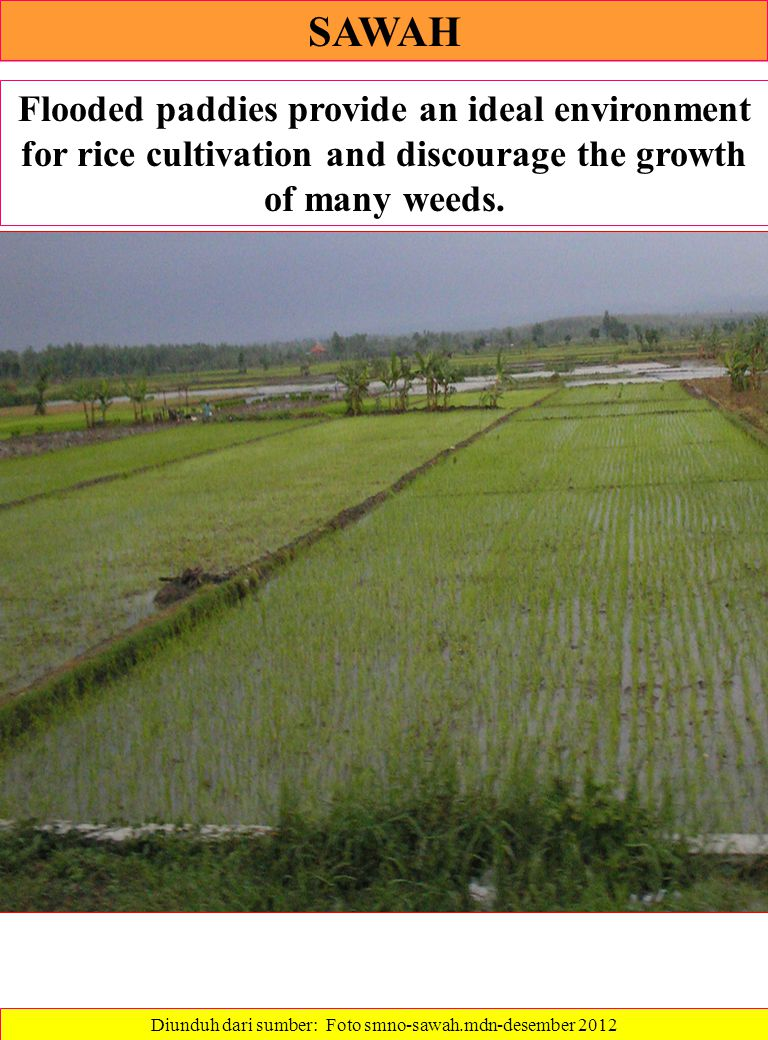 SAWAH Flooded paddies provide an ideal environment for rice cultivation and discourage the growth of many weeds.