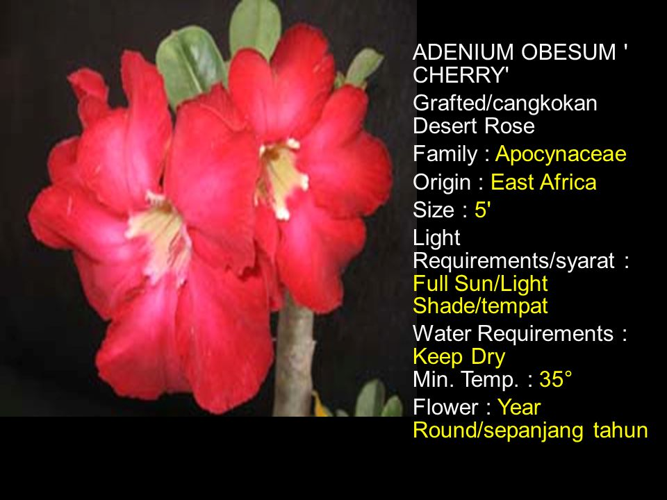 ADENIUM OBESUM CHERRY Grafted/cangkokan Desert Rose Family : Apocynaceae Origin : East Africa Size : 5 Light Requirements/syarat : Full Sun/Light Shade/tempat Water Requirements : Keep Dry Min.