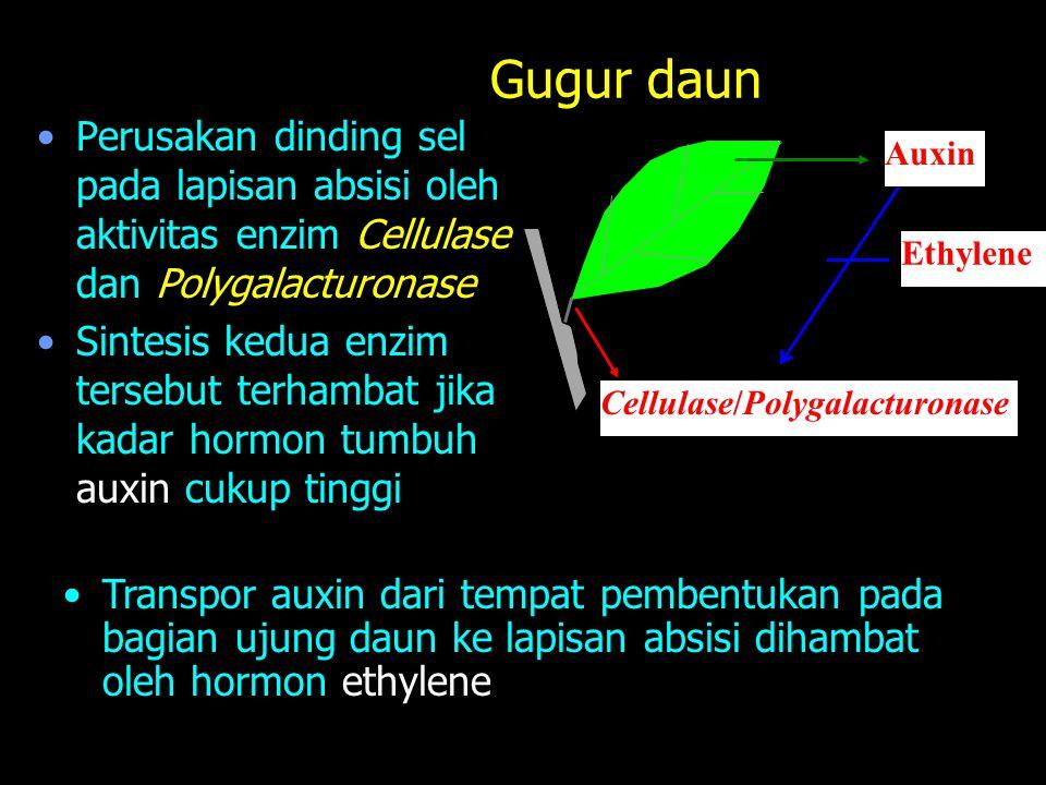 Gugur daun Perusakan dinding sel pada lapisan absisi oleh aktivitas enzim Cellulase dan Polygalacturonase Sintesis kedua enzim tersebut terhambat jika kadar hormon tumbuh auxin cukup tinggi Auxin Ethylene Cellulase/Polygalacturonase Transpor auxin dari tempat pembentukan pada bagian ujung daun ke lapisan absisi dihambat oleh hormon ethylene