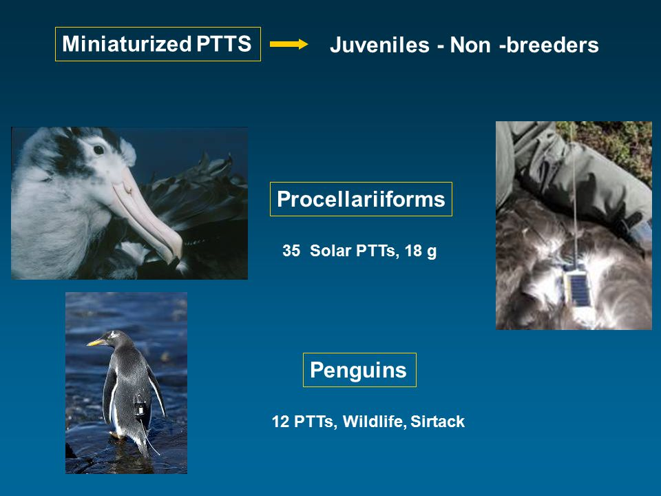Miniaturized PTTS Juveniles - Non -breeders Procellariiforms 35 Solar PTTs, 18 g Penguins 12 PTTs, Wildlife, Sirtack